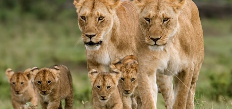 3 Days Kenya Masai Mara Safari from Kisumu -mara-lions