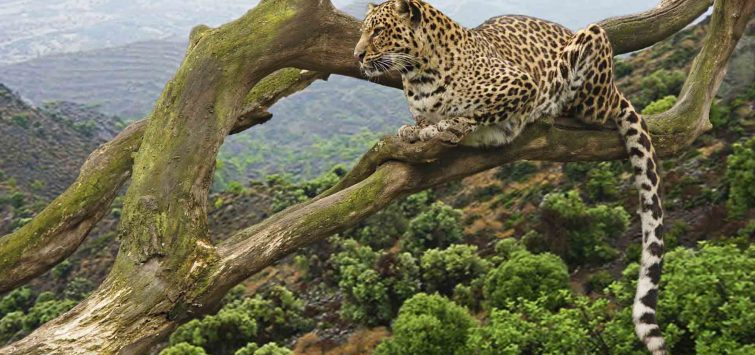 Big Cats and Rwanda Gorillas4