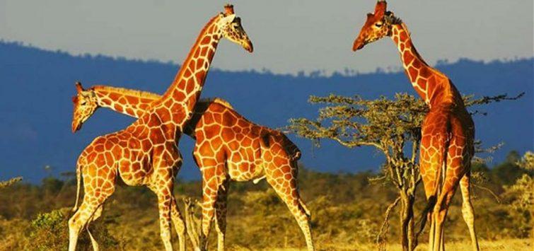 kenya safari giraffes