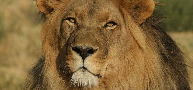 lion on kenya safari