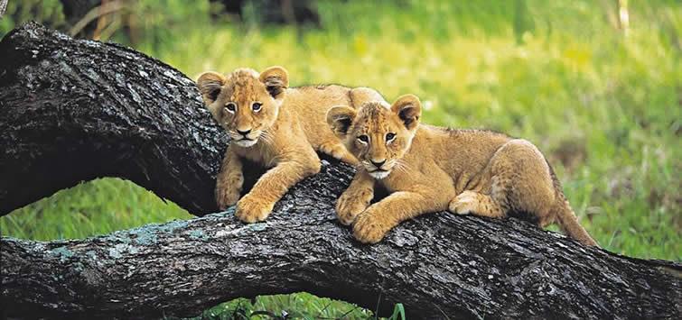 masai mara lion cubs