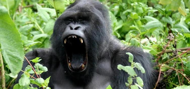 gorilla tours rwanda