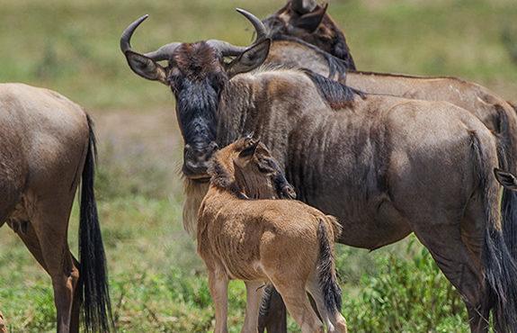 wildebeest calving in tanzania
