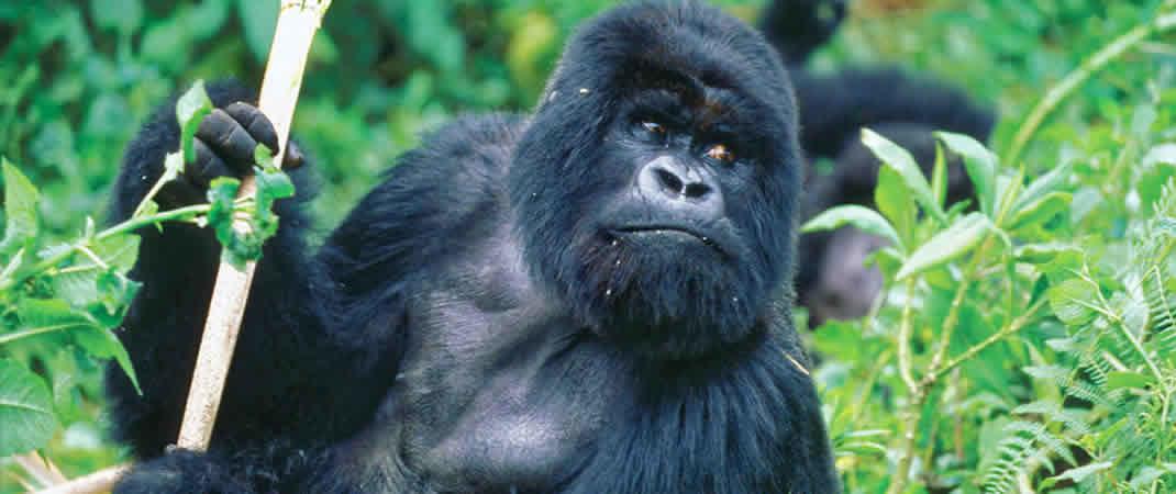 Gorila trekking Rwanda