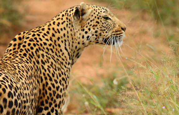 south africa leopard on safari