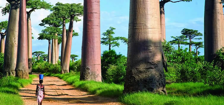 madagascar avenue of baobabs
